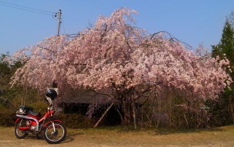 0410sakura1.jpg