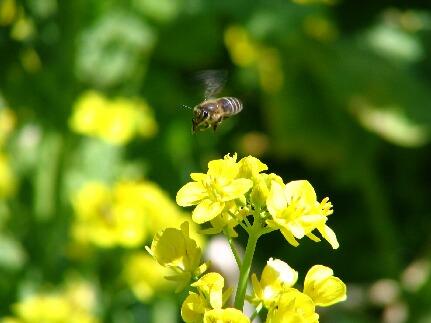菜の花と蜂.jpg